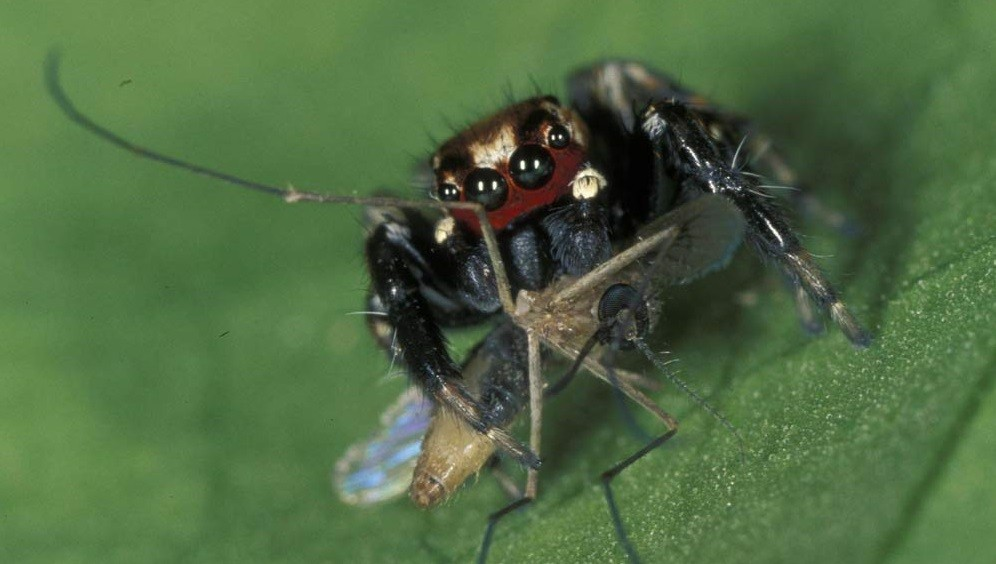 jumping-spider-mosquito