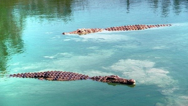 Crocodiles at the Nile