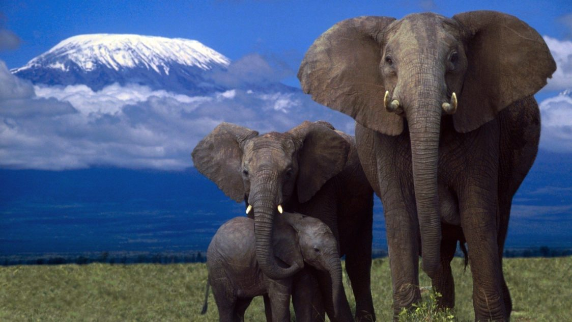 african elephant animals endangered africa background facts elephants wallpapers desktop weirdest backgrounds answersafrica