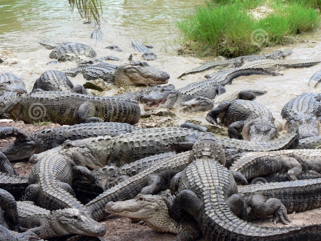 http://www.dreamstime.com/stock-photos-alligators-image1326543