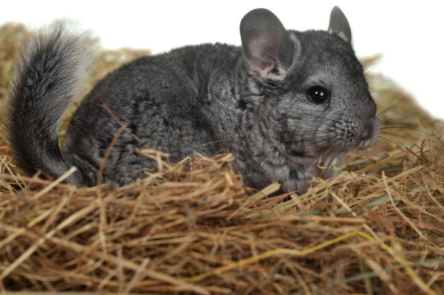 Grey nice chinchilla - Facts about Chinchillas