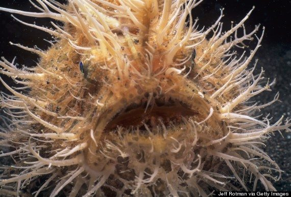 Hairy Frogfish, Anglerfish