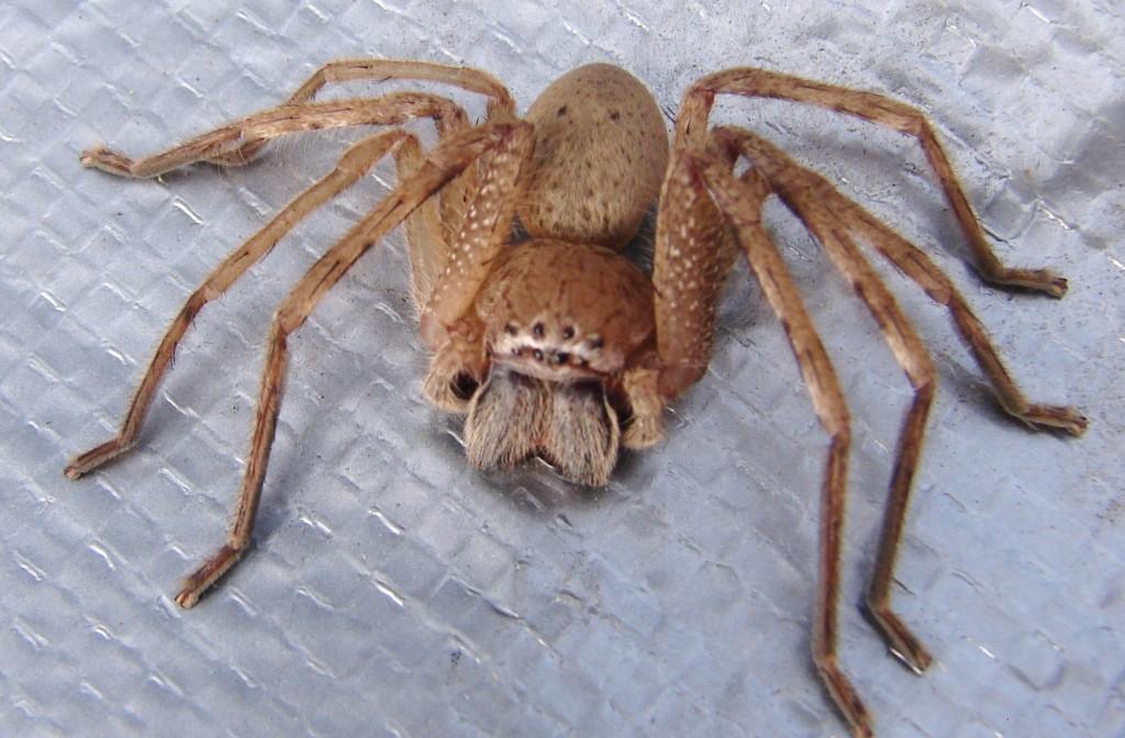 Brown-Huntsman-Spider