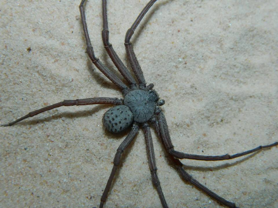 six-eyed-spider